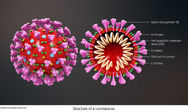 This is the structure of a coronavirus.